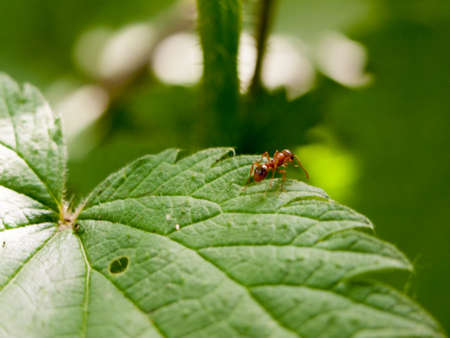 an ant crawling on a plant leaf at the edge of it in the forest