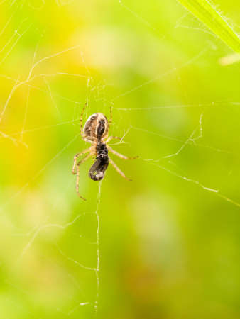 a spider on its web with a fat body eating a big fly