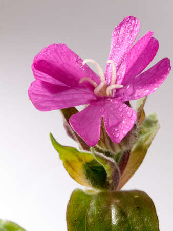 close up of flower head of spring pink flower in studio white background