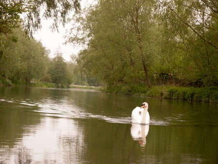towards: a lovely white mute swan single swimming down the stream river towards