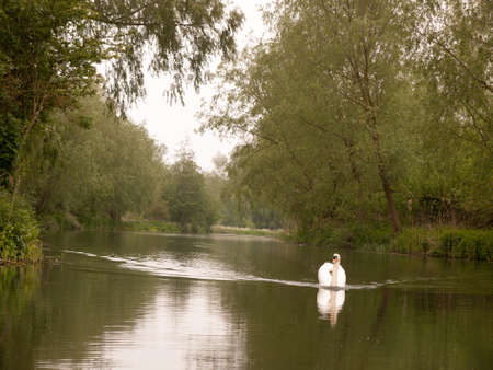 a lovely white mute swan single swimming down the stream river towards