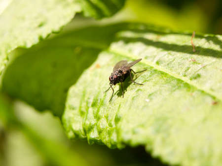 close up of a black fly resting on a leaf face forward with clear sharp eyes in later afternoon spring light outside