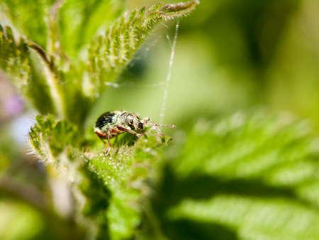 piojos: un insecto verde blindado en la parte superior de una hoja con su ojo en foco claro