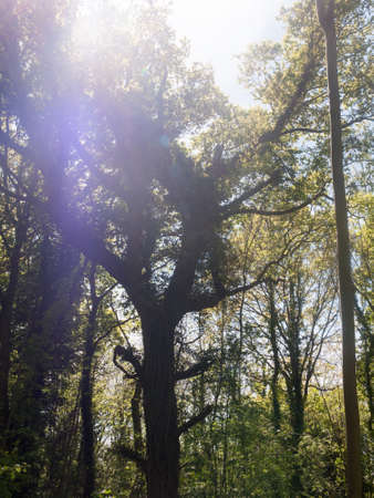 magnificence: at the center of a beautiful forest in the middle of the summer with lots of bright light tall trees and colors beautiful clear pretty sun flare tree canopy