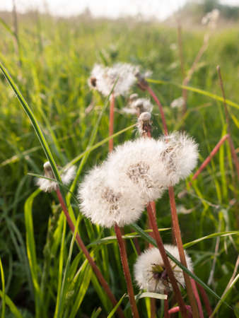 white peaceful and serene dandelion heads swaying in the outside field wind in spring light with beauty spiritual and soothing nature