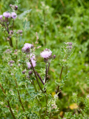 asteraceae: a few pink thistle flower heads blooming and budding