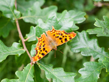 comma butterfly on some leaves outside Stock Photo