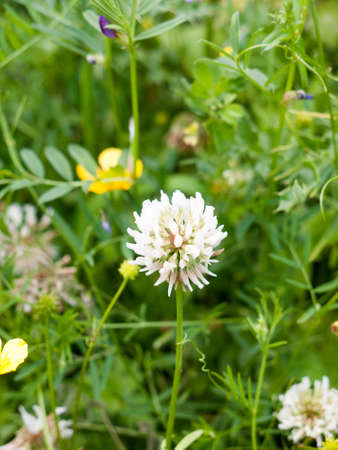 single clover flower head arising out of grass and meadow