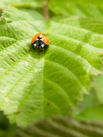 edge: ladybird resting on a green leaf in the summer sun and heat outside macro