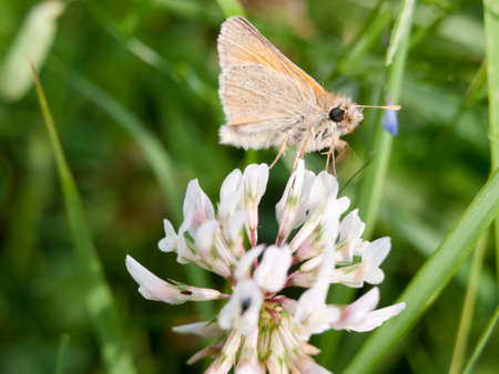 beautiful moth in the grass and on the leaf in summer on clover detail eyes Stock Photo