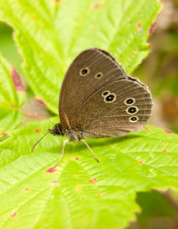 beautiful brown spotted butterfly close up in summer on leaf gathering Stock Photo