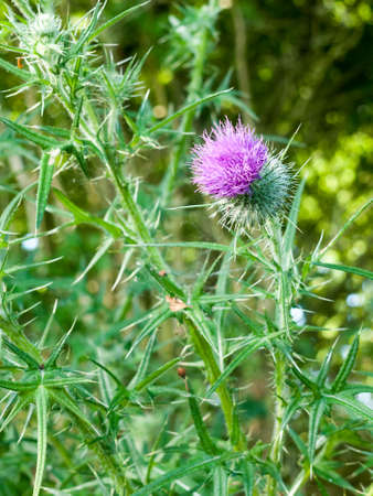 pink thistle isolated outside on plant in summer light essex, england.