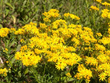 Hoary ragwort flower