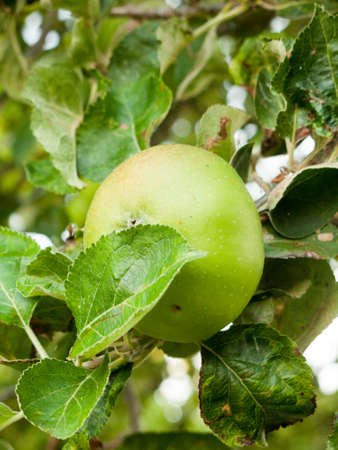 crab apple tree: UK Cooking Apple Growing on Tree in Garden Close up; Essex; UK
