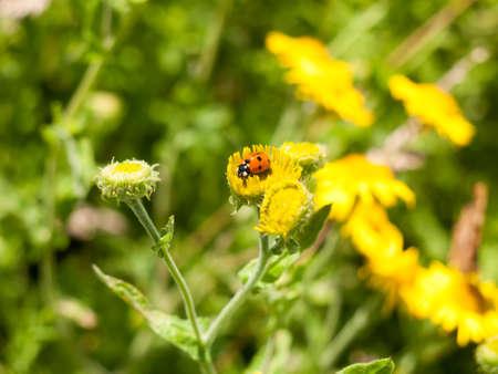 7-Dot Ladybird (Coccinella 7-punctata) on Yellow Flower Outsider; Essex; UK Stock Photo