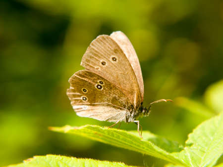 a brown ringlet butterfly resting on a leaf with its wings open; Essex; UK