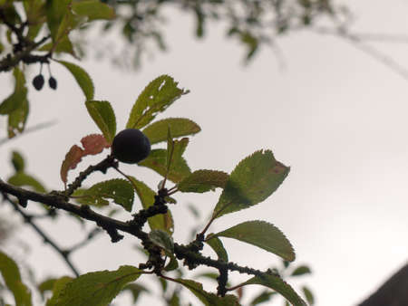 single sloeberry growing on a tree outside with overcast sky background; Essex; UK