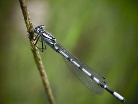 zygoptera: vintage blue damsel fly on grass stalk; Essex; England; UK
