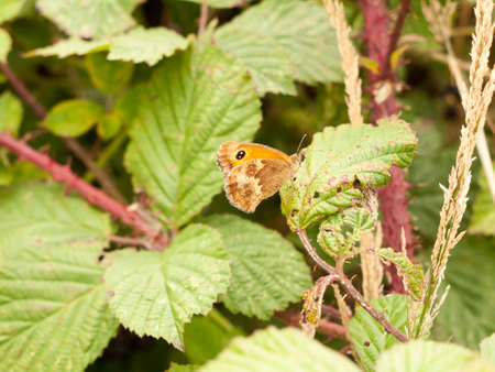a ringlet butterfly resting on a leaf; England; UK