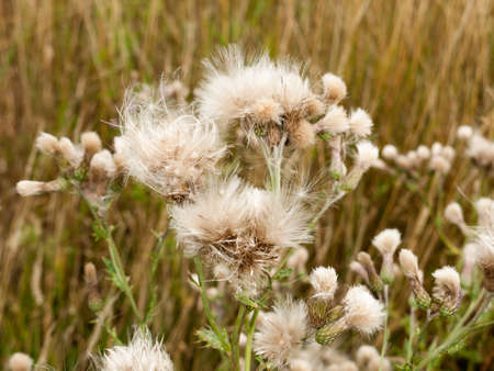 white fluffy milk thistle reed heads swaying in wind; England; UK