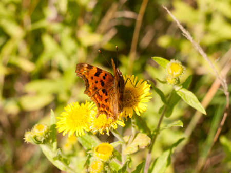 a small comma butterfly resting upon a yellow flower outside; Essex; UK