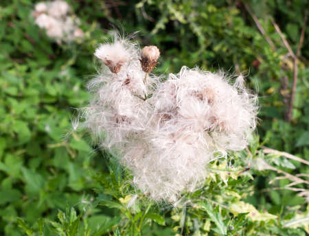 gorgeous close up lot of detail of many fluffy white milk thistle flower heads; UK Stock Photo