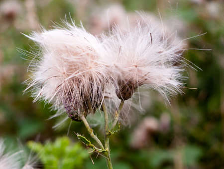 two fluffy white buds of wild milk thistle outside in field; UK