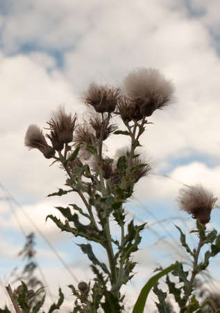 milk thistle white fluffy as seen from below with sky background; UK Stock Photo