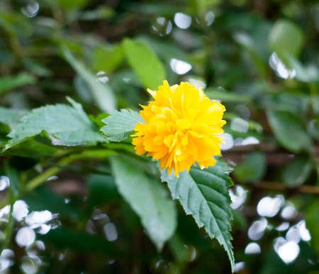yellow wild uk flower outside hop trefoil looking; UK Stock Photo
