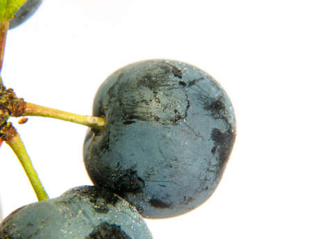 close up of sloe berry on white background with water dew droplets wet Prunus spinosa; UK