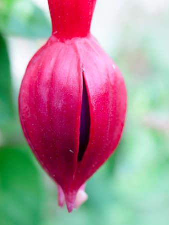 beautiful closed purple single hanging pink fuchsia wild pretty.