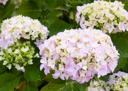 beautiful white hydrangea flower heads with green leaves background; England; UK