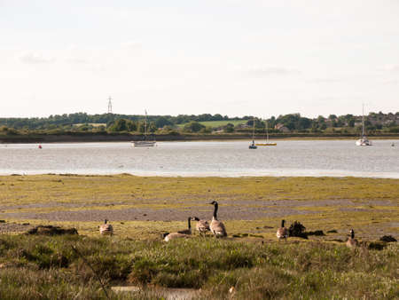 oakbank: bunch of canadian geese resting on shore line; England; UK Stock Photo