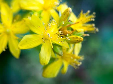 beautiful close up yellow flower wild petals; England; UK Stock Photo