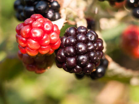 close up of ripe blackberries macro Rubus fruticosus; England; UK Stock Photo