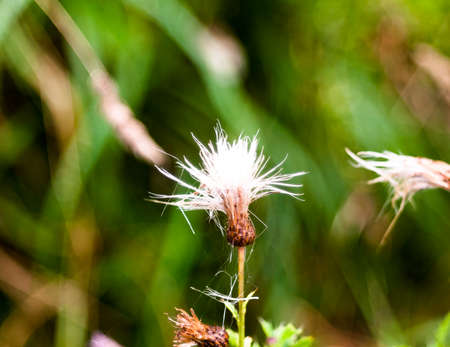 close up of milk thistle flower head white half Silybum marianum; England; UK