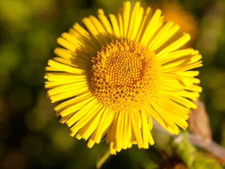 l first: summer yellow colts foot Tussilago farfara one close; England; UK
