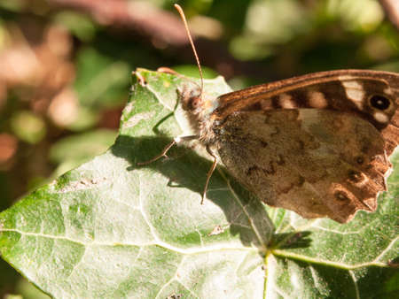 close up speckled wood butterfly on leaf resting Pararge aegeria; England; UK Stock Photo