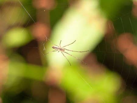 araneidae: common uk spider on web outside summer; England; UK