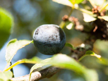 close up of single blue sloe berry on branch Prunus spinosa; England; UK Stock Photo
