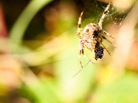 close up garden spider hanging on web Araneus diadematus; England; UK
