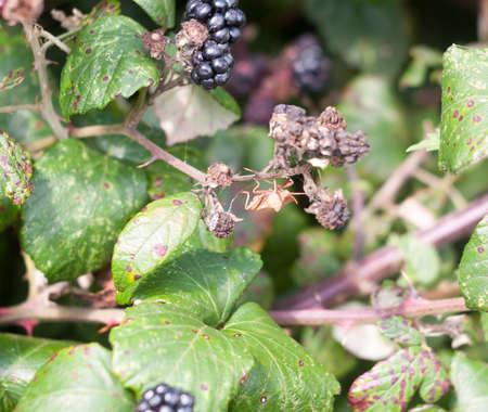 big dock bug on blackberries outside Coreus marginatus; Essex; England; UK