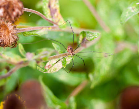 daddy long legs: daddy long legs spider in the wild Pholcidae; Essex; England; UK Stock Photo