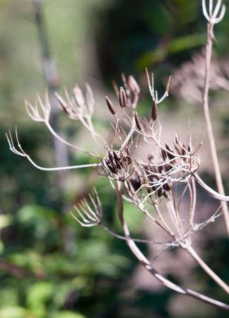 ploy: close up of dead seed heads of umbellifer flower plant; Essex; England; UK