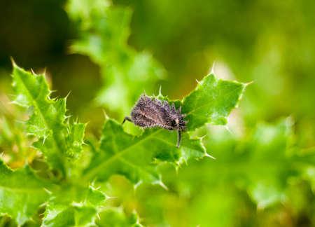 hairy dead grey leaf on green spiky leaf plant; Essex; England; UK