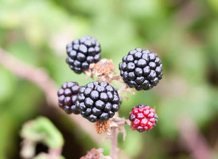 close up of bramble fruit blackberries rubus fruticosus; Essex; England; UK