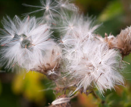 white dispersed seed heads of dandelion Taraxacum officinale; Essex; England; UK Stock Photo