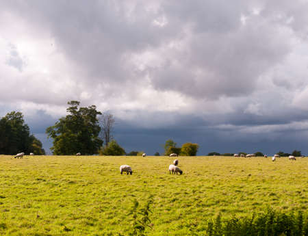summer english scene of sheep grazing with heavy clouds in the background; England; UK