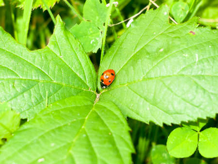ladyfly: close up of red 7 dotted lady bird bug on leafs; England; UK