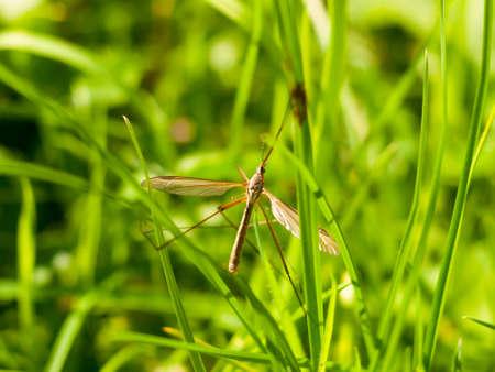 아빠 긴 다리 크레인 비행 Tipulidae 가까이; 영국; 영국